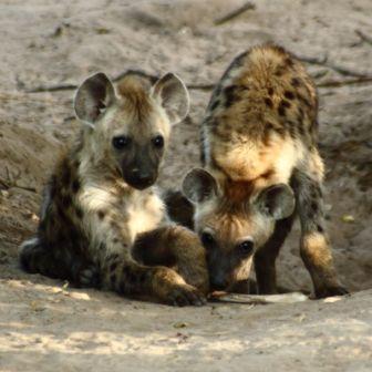 cachorros-hiena