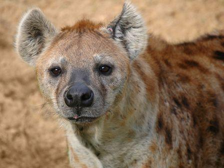 cara-hiena