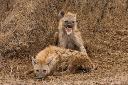 dos-hienas