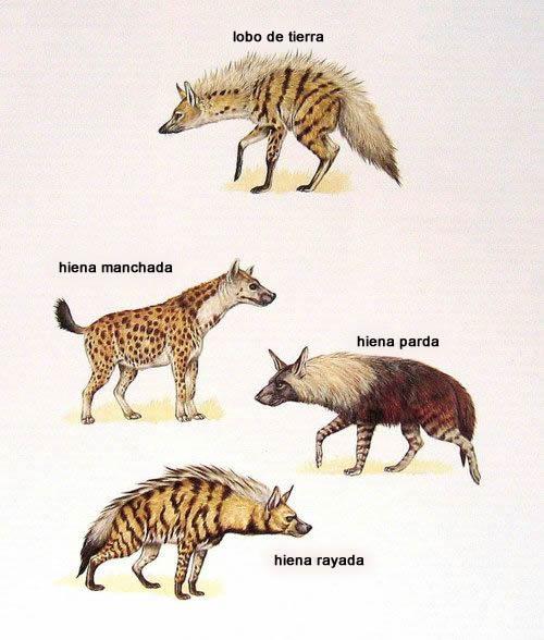 especies-hienas
