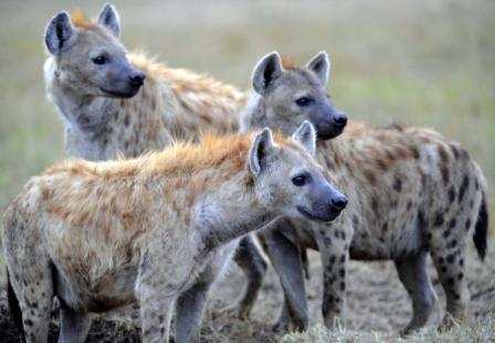 grupo-hienas