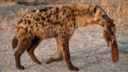 hiena-comida