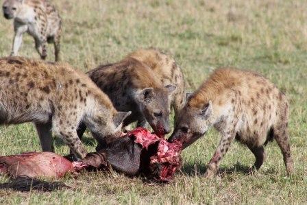 hiena-comiendo