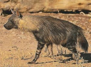 hiena-parda