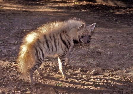 hiena-rayada