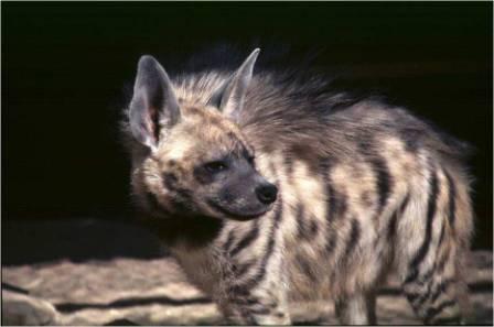 hiena-rayada1