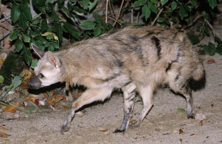 lobo-de tierra